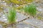 stock-photo-grass-growing-in-the-cracks-between-garden-tiles-406391485.jpg