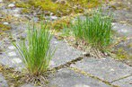 stock-photo-grass-growing-in-the-cracks-between-garden-tiles-406391485.jpg